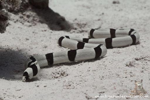 Gestreifter Schlangenaal - snake eel -Myrichthys colubrinus / Fanus West - Hurghada - Red Sea / Aquarius Diving Club