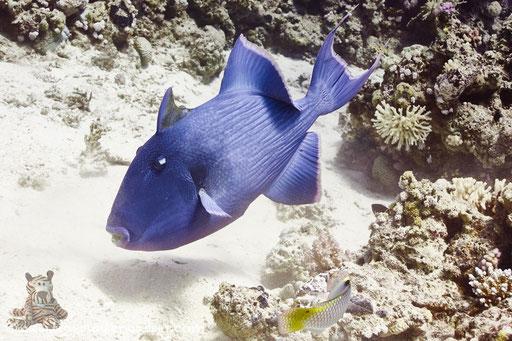 Blaustreifen Drückerfisch / blue triggerfish / Pseudobalistes fuscus / Godda Abu Ramada East/West - Hurghada - Red Sea / Aquarius Diving Club