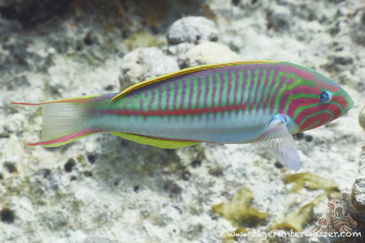 Rotmeer Junker / Klunzinger's wrasse / Thalassoma rueppellii / Shaab Sabina - Hurghada - Red Sea / Aquarius Diving Club
