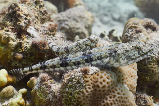 Riff Eidechsenfisch / Variegatet lizardfish / Synodus variegatus / Fanus West - Hurghada - Red Sea / Aquarius Diving Club