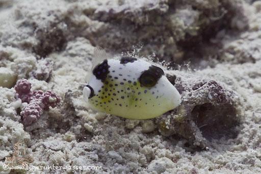 Riesen Drückerfisch juv. / titan triggerfish juv. / Balistoides viridescens juv. / Marsa  Abu Galawa - Hurghada - Red Sea / Aquarius Diving Club