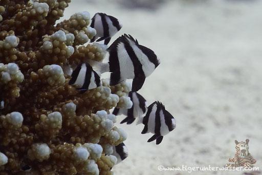Dreibinden Preussenfisch / Whitetail dascyllus / Dascyllus aruanus / Small Giftun - Hurghada - Red Sea / Aquarius Diving Club