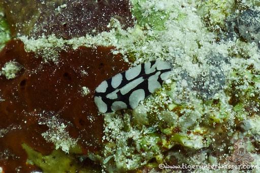 Dautzenbergs Warzenschnecke / Dautzenberg`s wart slug / Phyllidiopsis dautzenbergi / Godda Abu Ramada West - Hurghada - Red Sea / Aquarius Diving Club