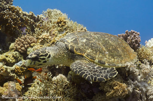Echte Karettschildkröte / hawksbill sea turtle / Eretmochelys imbricata / Carless Reef - Hurghada - Red Sea / Aquarius Diving Club