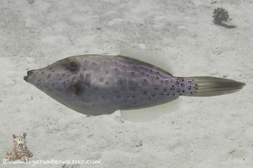Schrift Feilenfisch / scrawled filefish / Aluterus scriptus / Godda Abu Ramada East/West - Hurghada - Red Sea - Aquarius Diving Club