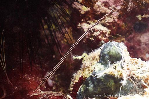 Geringelte Seenadel - Dunkerocampus multiannulatus / Abu Ramada Süd - Hurghada - Red Sea / Aquarius Diving Club