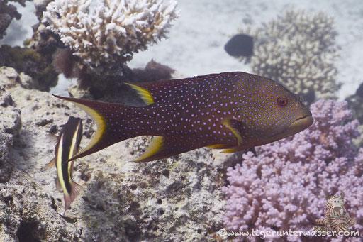 Mondsichel Juwelenbarsch / Yellow-edged lyretail / lyretail grouper - coronation cod / Variola louti / Erg Talata - Hurghada - Red Sea / Aquarius Diving Club