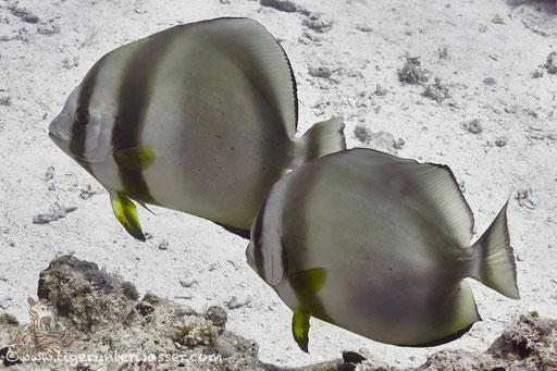Rundkopf Fledermausfisch / Orbicular batfish / Platax orbicularis / Godda Abu Ramada East/West - Hurghada - Red Sea / Aquarius Diving Club