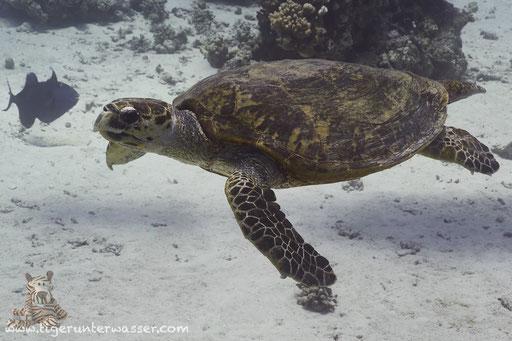 Echte Karettschildkröte / hawksbill sea turtle / Eretmochelys imbricata / Godda Abu Ramada East - Hurghada - Red Sea / Aquarius Diving Club