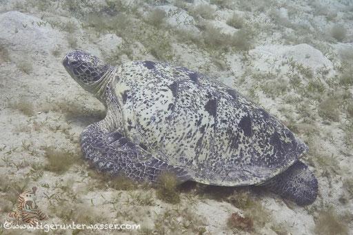 Grüne Schildkröte / Green Sea Turtle / Chelonia mydas /Marsa Mubarak - Marsa Alam - Red Sea