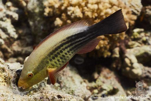 Grünbürzel Papageifisch juv. - Bridled Parrotfish juv. - Scarus frenatus juv. / Erg Talata - # Hurghada - # Red Sea / Aquarius Diving Club