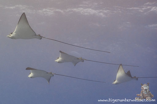 Gefleckter Adlerrochen / spotted eagle ray / Aetobatus narinari / Fanus West - Hurghada - Red Sea / Aquarius Diving Club