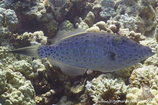 Schrift Feilenfisch / scrawled filefish / Aluterus scriptus / Small Giftun - Hurghada - Red Sea - Aquarius Diving Club