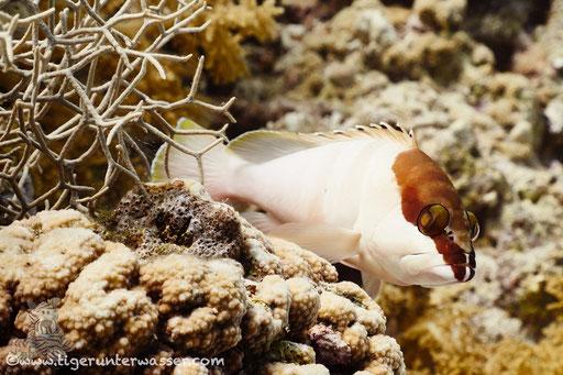 Baskenmützen Zackenbarsch / Blacktip grouper / Epinephelus fasciatus / Abu Ramada Süd - Hurghda - Red Sea / Aquarius Diving Club