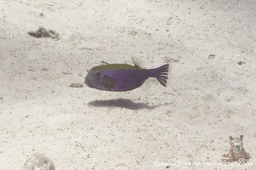 Arabischer Kofferfisch / Bluetail Trunkfish / Ostracion cyanurus /  Hurghada - Red Sea / Aquarius Diving Club