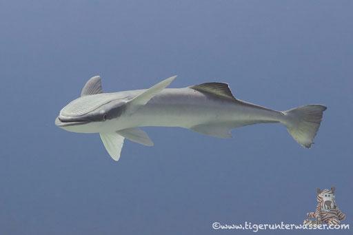 Gestreifter Schiffshalter / live sharksucker or slender sharksucker / Echeneis naucrates / Small Giftun - Hurghada - Red Sea / Aquarius Diving Club