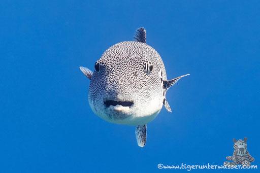 Riesen Kugelfisch / starry puffer / Arothron stellatus / Shaab Sabina - Hurghada - Red Sea / Aquarius Diving Club