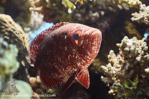 Riff Grossaugenbarsch - Moontail Bullseye - Priacanthus hamrur / Erg Talata - Hurghada - Red Sea / Aquarius Diving Club