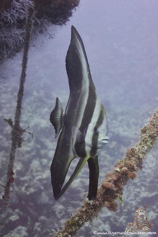Rundkopf Fledermausfisch / Orbicular batfish / Platax orbicularis / Mohamed Hassabella - Hurghada - Red Sea / Aquarius Diving Club