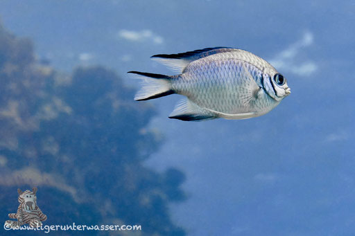 Weißbauch Demoiselle / Pale Damselfish / Amblyglyphidodon indicus / Errough - Hurghada - Red Sea / Aquarius Diving Club