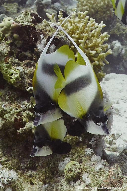 Rotmeer Wimpelfisch / Red Sea bannerfish / Heniochus intermedius / Godda Abu Ramada West - Hurghada - Red Sea / Aquarius Diving Club