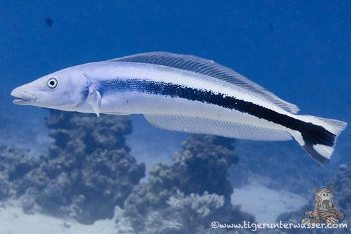 Blaukopf Torpedobarsch / Banded blanquillo / Malacantus latovittatus / Godda Abu Ramada East/West - Hurghda - Red Sea / Aquarius Diving Club