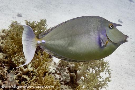 Blauklinken Nasendoktor / bluespine unicornfish or short-nose unicornfish / Naso unicornis / Abu Ramada Süd - Hurghada - Red Sea / Aquarius Diving Club