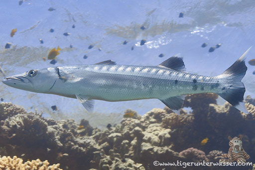 Grosser Barrakuda / great barracuda - giant barracuda / Sphyraena barracuda / Erg Talata - Hurghada - Red Sea / Aquarius Diving Club