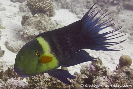 Besenschwanz Lippfisch / broomtail wrasse / Cheilinus lunulatus / Fanus Ost - Hurghada - Red Sea / Aquarius Diving Club