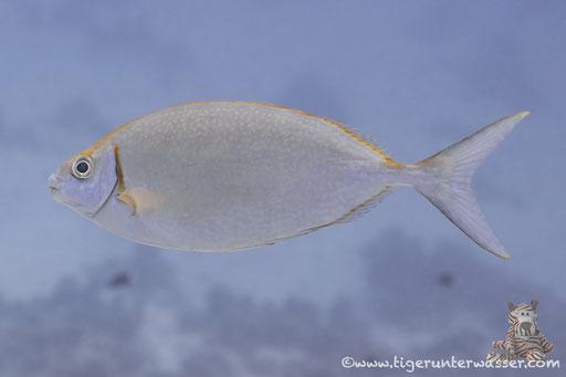 Silber Kaninchenfisch - Siganus argenteus / Abu Ramada South - Hurghada - Red Sea / Aquarius Diving Club