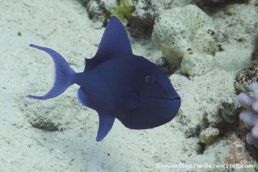 Rotzahn Drückerfisch - redtoothed triggerfish - Odonus niger / Abu Ramada Süd - Hurghada Red Sea / Aquarius Diving Club