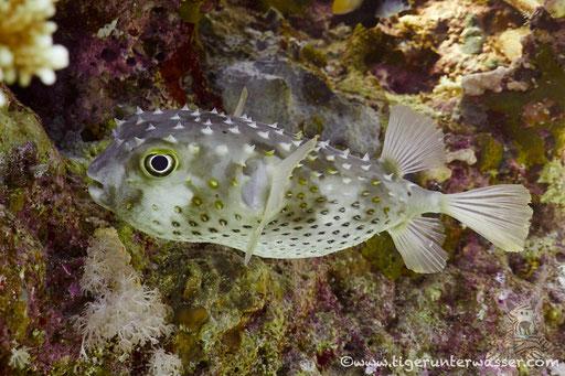 Gelbflecken Igelfisch / Spotbase burrfish / Cyclichthys spilostylus / Carless Reef - Hurghada - Red Sea / Aquarius Diving Club