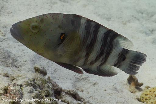 Abudjubbes Lippfisch - Abudjubbe wrasse - Cheilinus abudjubbe /  Fanus West - Hurghada - Red Sea / Aquarius Diving Club