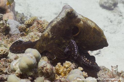 Roter Krake / common reef octopus or big blue octopus / Octopus cyaneus / Fanus West - Hurghada - Red Sea / Aquarius Diving Club