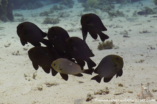 Dreifleck Preussenfisch / Threespot dascyllus / Dascyllus trimaculatus / Ben El Gebal - Hurghada - Red Sea / Aquarius Diving Club