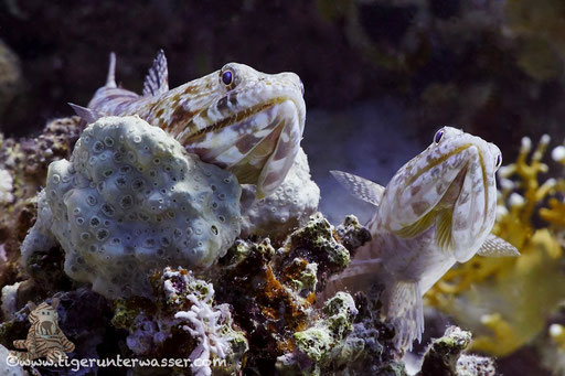 Riff Eidechsenfisch / Variegatet lizardfish / Synodus variegatus / Banana Reef - Hurghada - Red Sea / Aquarius Diving Club