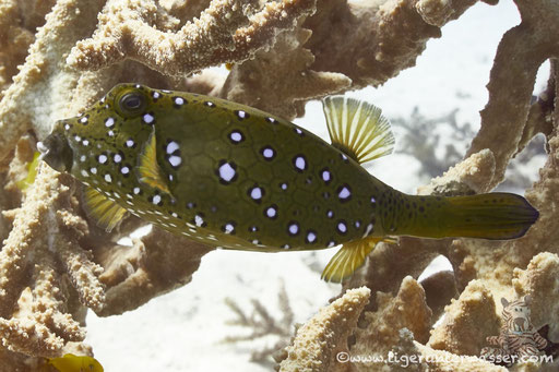 Gelbbrauner Kofferfisch ♀ / yellow boxfish ♀ / Ostracion cubicus ♀ / Marsa Abu Galawa - Hurghada - Red Sea / Aquarius Diving Club