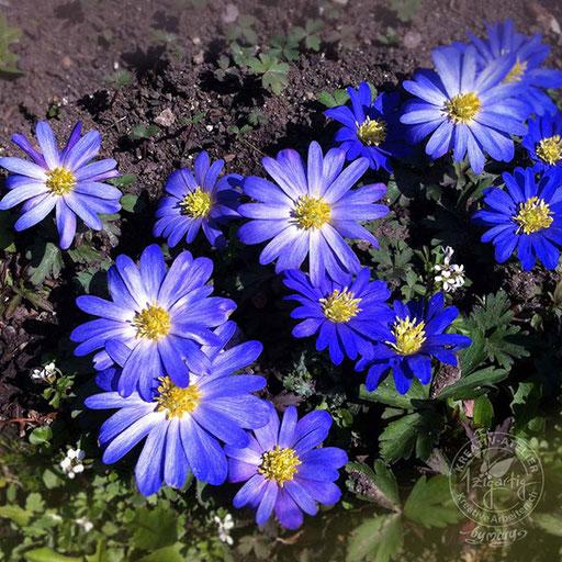 Intensiv blaue Blumen im Garten...Astern?, © www.kreativearbeiten.ch