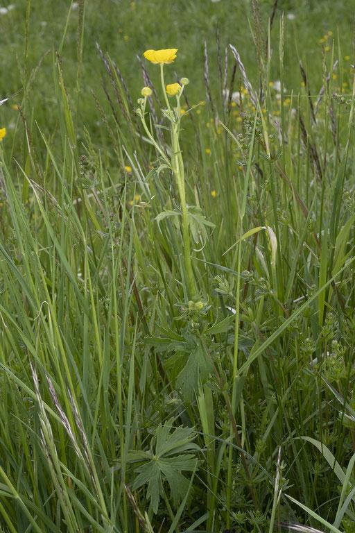 Der Scharfe Hahnenfuss (Ranunculus acris) mit den handförmigen Blättern (unten)