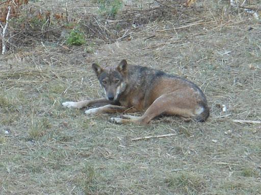 lupo a riposo nell'area faunistica di Civitella Alfedena