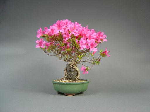 Satsuki - Azalee, Rhododendron indicum