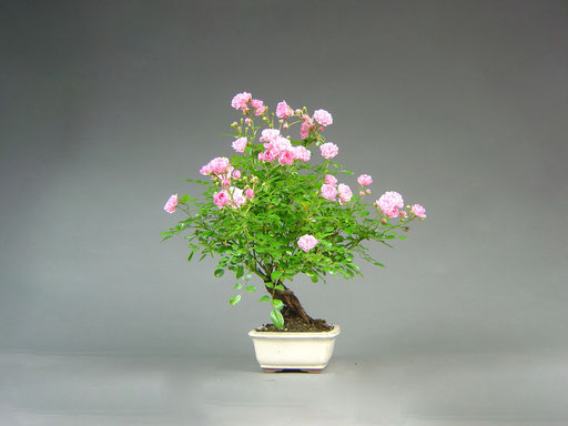 Rose, Rosa, Outdoor Bonsai, Freilandbonsai