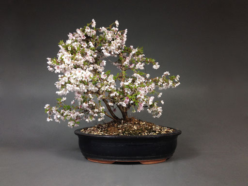 Zierkirsche, Prunus incisa ´Kojou-no-mai´Outdoor Bonsai