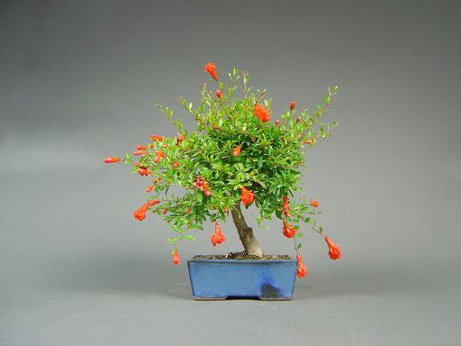 Granatapfel, Punica granatum in voller Blüte