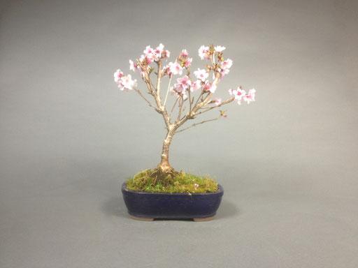 Zierkirsche, Prunus