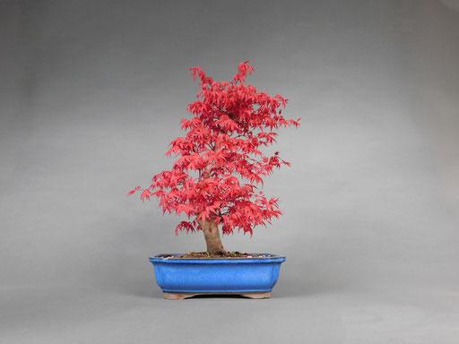 Leuchtend roter Blattaustrieb eines Fächerahorn Acer palmatum deshojo2
