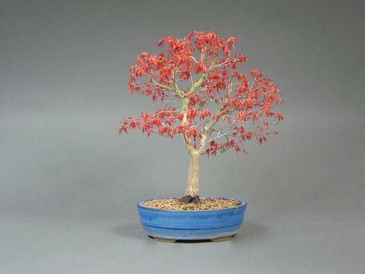 Blattaustrieb eines Fächerahorn Acer palmatum