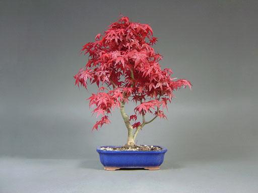 Roter Blattaustrieb eines Roten Fächerahorn Acer palmatum