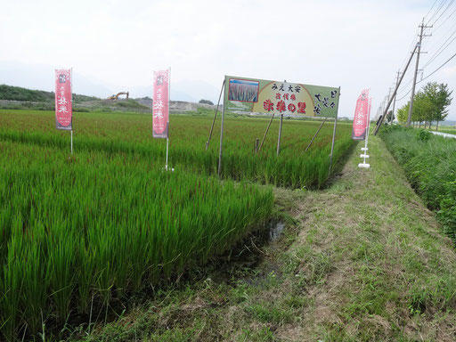 赤米の田んぼ
