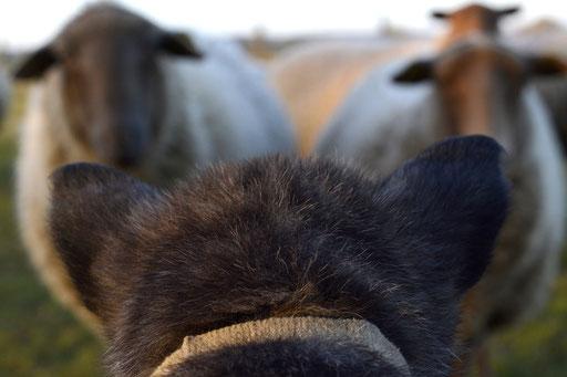 beige ontmoet de schapen